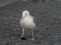 海鸥 好的鸟 免版税库存照片