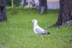 海鸥画象在公园1 库存照片