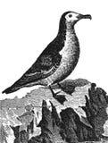 海鸥类飞鸟 库存照片