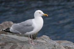 海鸥 库存图片