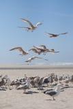 攻击海鸥 库存图片