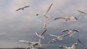 海鸥攻击 影视素材