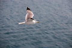 海鸥4 图库摄影