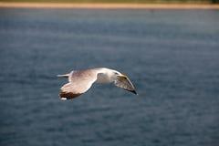 海鸥5 库存照片