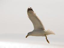 海鸥11 库存图片