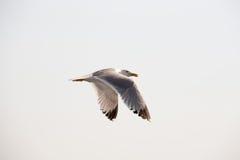 海鸥13 图库摄影