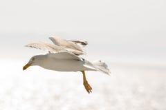 海鸥2 免版税库存图片