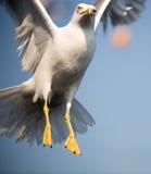 海鸥15 库存图片