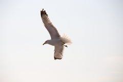 海鸥16 免版税图库摄影