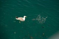 海鸥16 库存图片