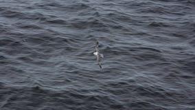 海鸥 Grimsey 冰岛 库存照片