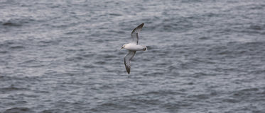 海鸥 Grimsey 冰岛 免版税库存照片