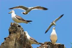 海鸥3 免版税图库摄影