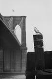 海鸥brooklin桥梁 库存照片
