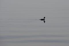 海鸭子 免版税库存照片