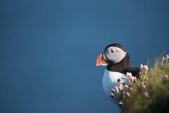 海鹦在舍特兰群岛(苏格兰) 免版税库存照片