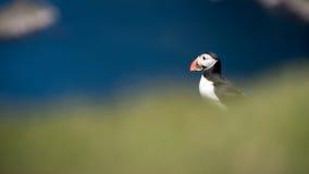 海鹦在舍特兰群岛(苏格兰) 免版税图库摄影