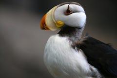 海鹦在阿拉斯加 免版税库存图片