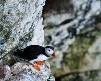 海鹦- Fratercula -海雀- Notrh约克夏-英国 库存图片