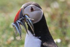 海鹦& x28; Fratercula arctica& x29;使用额嘴有很多它的年轻人的鱼 图库摄影