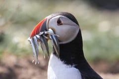 海鹦& x28; Fratercula arctica& x29;使用额嘴有很多它的年轻人的鱼 免版税图库摄影