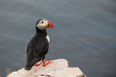 海鹦- Grimsey海岛 免版税库存照片