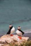 海鹦- Grimsey海岛 免版税图库摄影