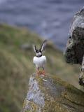 海鹦Fratercula arctica拍动翼 免版税库存图片