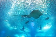 海黄貂鱼和海洋生物 有鱼和珊瑚的一个海洋水族馆 库存照片