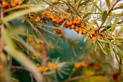 海鼠李分支在庭院里 海鼠李油 Vitaminic健康海鼠李茶 新鲜的未加工的海鼠李 图库摄影