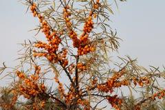 海鼠李成熟莓果在分支的 免版税图库摄影