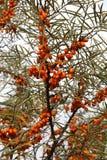 海鼠李成熟莓果在分支的 免版税库存图片