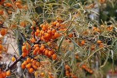 海鼠李成熟莓果在分支的 免版税库存照片