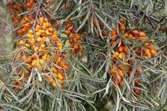 海鼠李成熟莓果在分支的 图库摄影