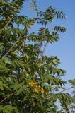 海鼠李树用莓果 免版税库存照片