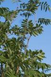 海鼠李树 库存照片