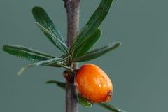 海鼠李浆果。 免版税库存图片
