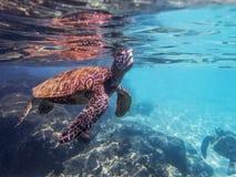 海龟呼吸在海洋表面在明亮的阳光下射击了f 库存图片