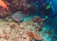 海龟和珊瑚礁,马尔代夫 免版税图库摄影