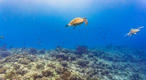 海龟和许多鱼在热带礁石在水下 免版税库存图片