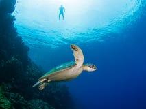绿海龟和snorkeler 免版税库存图片