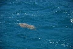 海龟在地中海游泳在凯梅尔附近土耳其  免版税库存照片
