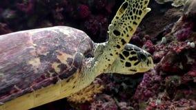 海龟在干净的清楚的水下的海底美妙地漂浮在马尔代夫 影视素材