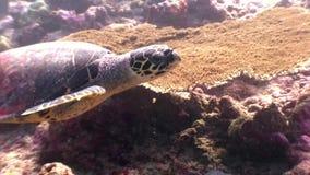 海龟在干净的清楚的水下的海底美妙地漂浮在马尔代夫 股票视频