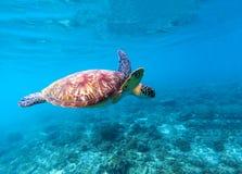 海龟在海水游泳 大绿浪乌龟特写镜头 热带珊瑚礁生活  免版税图库摄影