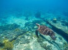 海龟在水中 水下的海龟关闭照片 绿色草龟在蓝色盐水湖 库存图片