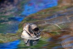 海龟在水` s表面 库存图片