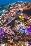 海龟坐五颜六色的珊瑚礁在Sipadan,马来西亚 免版税库存图片