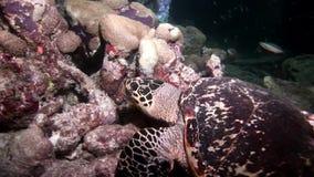 海龟宏观录影特写镜头和潜水者水下干净的清楚的海底的 股票录像