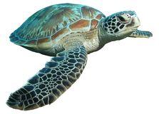 海龟属绿色查出的mydas乌龟 免版税库存照片